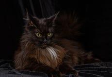 Studiostående av en härliga Maine Coon Cat Arkivfoton