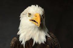 Studiostående av skalliga Eagle Arkivbilder