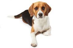 Studiostående av beaglehunden som ligger mot vit bakgrund Arkivfoto