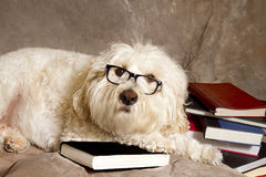 Studious Dog Wearing Reading Glasses/Books Royalty Free Stock Photo