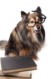 Studious Sheltie dog Royalty Free Stock Photos