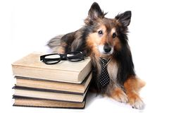 Studious Sheltie Stock Photography