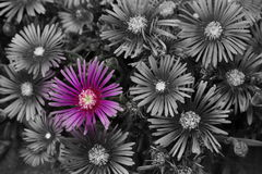 A Study of Asters in Black and White with a Colorful Twist Stock Photos