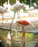 A study in graceful elegance. Greater Flamingo Royalty Free Stock Photo