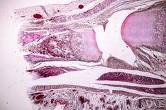 Study Histology of human, tissue bone under the microscopic. Study Histology of human, tissue bone under the microscopic in laboratory royalty free stock photo