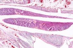 Study Histology of human, tissue bone under the microscopic. Study Histology of human, tissue bone under the microscopic in laboratory stock image
