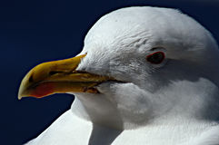 A study of a seagull 27 Stock Images