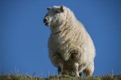 Study of a South Downs Sheep stock image