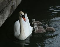 A pair of swans with young. A study of a swan with young or cygnets Royalty Free Stock Photos