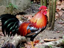 Feral Chickens, St. John, US Virgin Islands stock photography