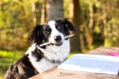 Studying dog. A dog holding a pencil studying at the park stock images