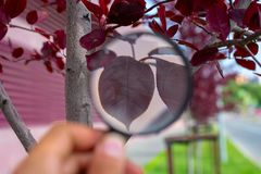 Studying of a red leaf of a tree through a magnifying glass in a male hand, ecology, botany stock photo