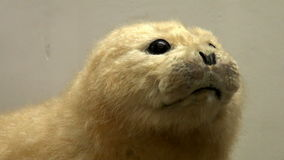 A stuffed animal. Museum exhibit nature stock video footage
