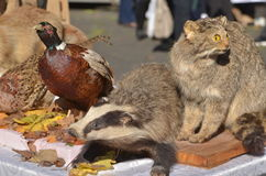 Stuffed animals. Badger, wild cat, pheasant exposed outdoor Stock Images