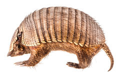 Stuffed Armadillo Stock Photo