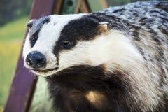 Stuffed badger Stock Image