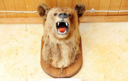 Stuffed bear`s head with open mouth on the wall. Stuffed head of russian bear with open mouth on the wall Stock Images