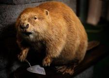Stuffed beaver Royalty Free Stock Photo