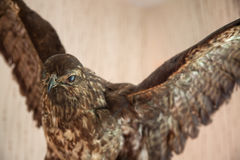 Stuffed bird of prey Stock Photos