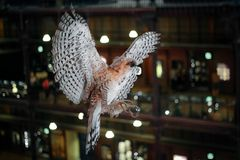Stuffed bird of prey with widely spread wings. A museum exhibit royalty free stock image
