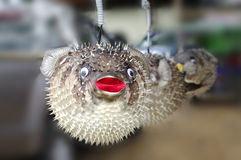 Stuffed blowfish selling in market Stock Photography