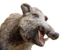 A stuffed boar head Royalty Free Stock Photo