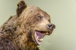Brown bear head. Stuffed brown bear head with a snarling mouth and big white teeth royalty free stock images