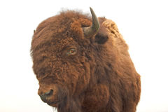 Stuffed Buffalo Royalty Free Stock Photos