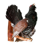 Stuffed capercaillie on white, taxidermy Stock Photo