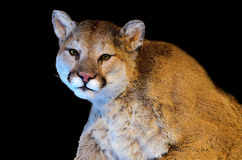 Cougar Royalty Free Stock Images