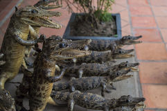 Stuffed crocodiles Royalty Free Stock Image