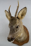 Stuffed deer head Stock Photos