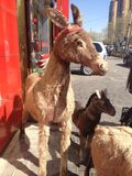 Stuffed donkeys. Decoration in front of Chinese restaurant in Beijing offering donkey Stock Images