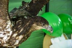 Stuffed eagle Stock Image