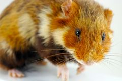 Hamster taxidermy Royalty Free Stock Photo