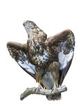 A stuffed falcon Royalty Free Stock Images