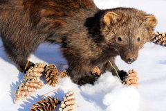 Stuffed fisher cat in the winter sunshine Stock Image