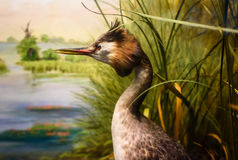 Stuffed Great Crested Grebe Stock Image
