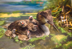 Stuffed Great Crested Grebe Royalty Free Stock Photos