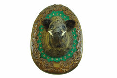 Stuffed head of hunted wild boar. Sus scrofa , wall mount on wooden plate, taxidermy stock photo
