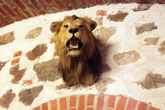 Stuffed head of lion in Trakai castle, Lithuania. Trakai is an old capital of Lithuania Royalty Free Stock Photography
