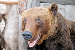 The stuffed head of a snarling brown bear. Ursus arctos in Latin - symbol of Russia. Taxidermy muzzle of bear with grin mouth and teeth royalty free stock images