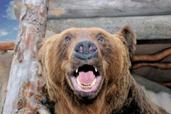 The stuffed head of a snarling brown bear. Ursus arctos in Latin - symbol of Russia. Taxidermy muzzle of bear with grin mouth and teeth royalty free stock photo
