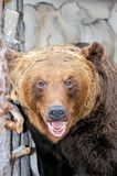 The stuffed head of a snarling brown bear. Ursus arctos in Latin - symbol of Russia. Taxidermy muzzle of bear with grin mouth and teeth stock images