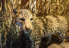 Stuffed Leopard Royalty Free Stock Photography