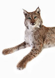 A stuffed lynx. On a white background. isolated Stock Image