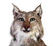 A stuffed lynx. On a white background. isolated Stock Photography
