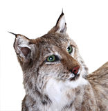 A stuffed lynx. On a white background. isolated Royalty Free Stock Photo