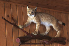 Stuffed lynx. Royalty Free Stock Photography