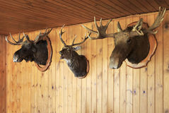Stuffed moose head and deer head. Stock Photos